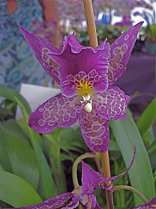 Boudior Orchids