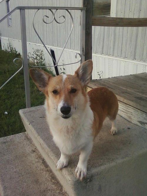 : North Texas Corgi Rescue   Lucy