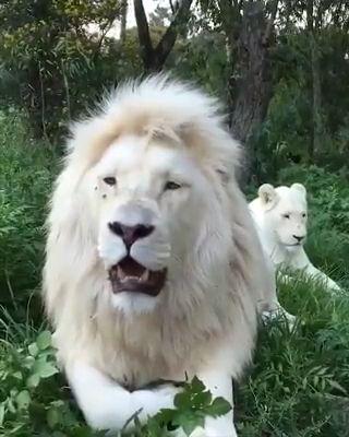 Beautiful White Lion 😍