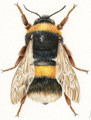 Scientific illustration of Bombus, the bumble bee.