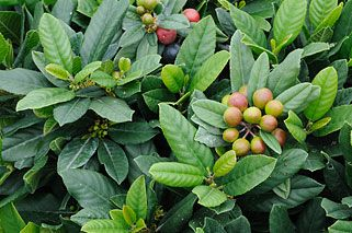 Suncrest Nurseries, Inc.: California Natives Rhamnus Californica Seaview Improved 18 in by 3 ft width, deer resistant, Sun to light shade, ground cover, most soils, eergreen, ow water, birds,