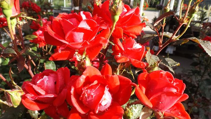 Red Knock Out roses. Good disease resistance, long-blooming, available in several colors. Weesies Garden Center 2014. Montague, MI.