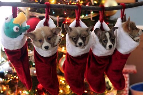 If you're very, very good, Santa might bring you adorable Pembroke Welsh Corgi puppies for Christmas!