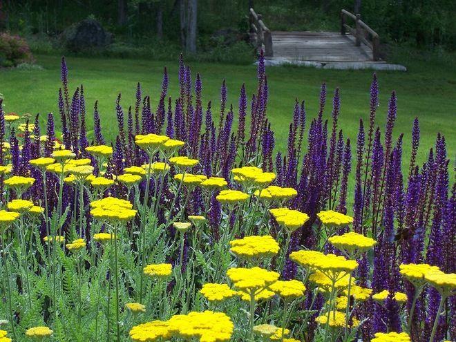 Meadow Sage (Salvia X Sylvestris U0027May Nightu0027) And Fernleaf Yarrow (Achillea  X U0027Moonshineu0027) Farmhouse Landscape By Dear Garden Associates, Inc.
