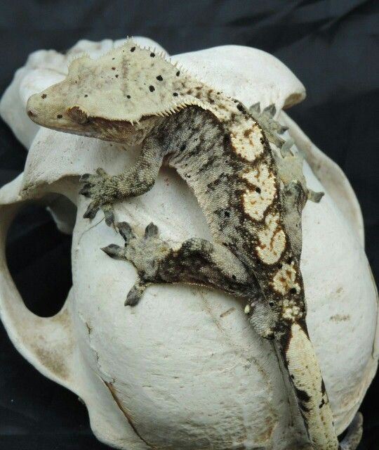 Oil My Crested Gecko