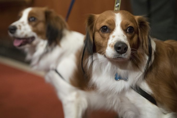 ICYMI: These 2 Dog Breeds Were Just Added to the American Kennel Club Roster