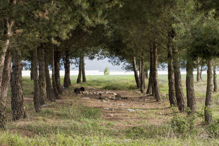 Pine forest by Asier Montoia on 500px