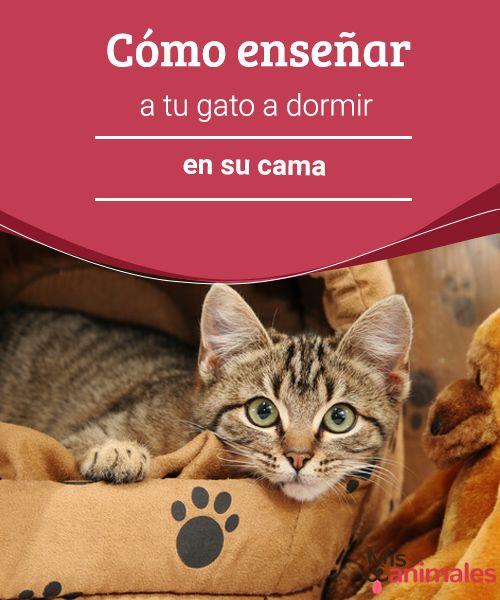 Cómo enseñar a tu gato a dormir en su cama   Vamos a mostrar cómo enseñar a un gato a dormir en su cama y que se quede ahí calmado sin molestar mucho durante la noche. #gato #dormir #cama #consejos