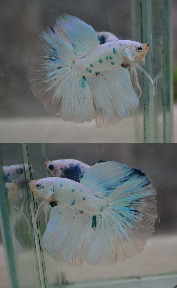 Best 25 betta fish ideas on pinterest betta beautiful for Baby betta fish