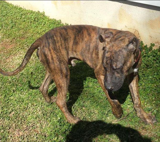 Found Dog - Pit Bull - Peachtree Corners, GA, United States 30092 on February 09, 2016 (17:00 PM)
