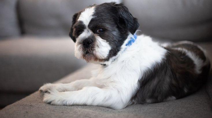 55 shih tzu bichon puppies for sale in massachusetts in