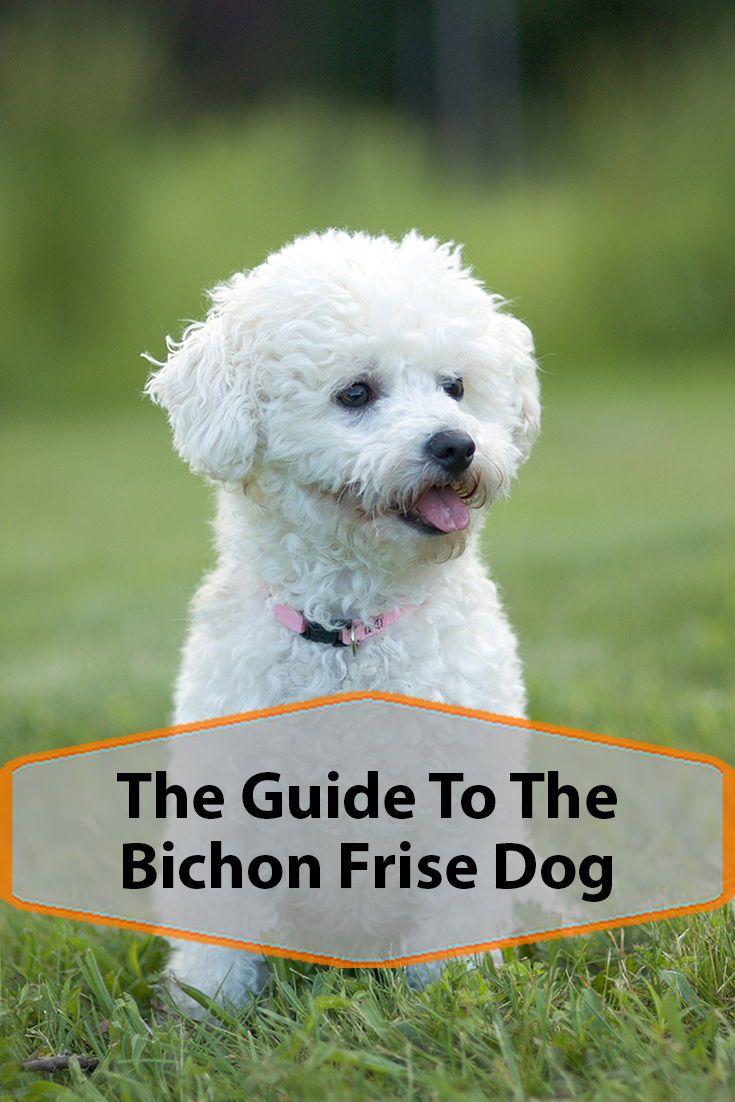 Bichon Frise Breed Information Bichon Frise Bichon Frise Dogs