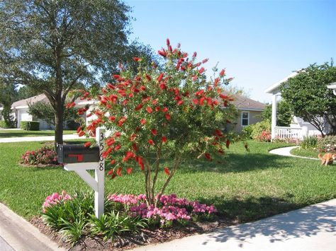 The best shrubs to turn into 'trees' . bottlebrush, shown above,. Owner suggested replacing it with a standardized loropetalum.
