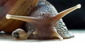 Image result for African Snail Picture