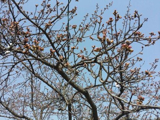 2015년 3월 30일 오후 경포호수 관측지점에서의 벚꽃개화 상태