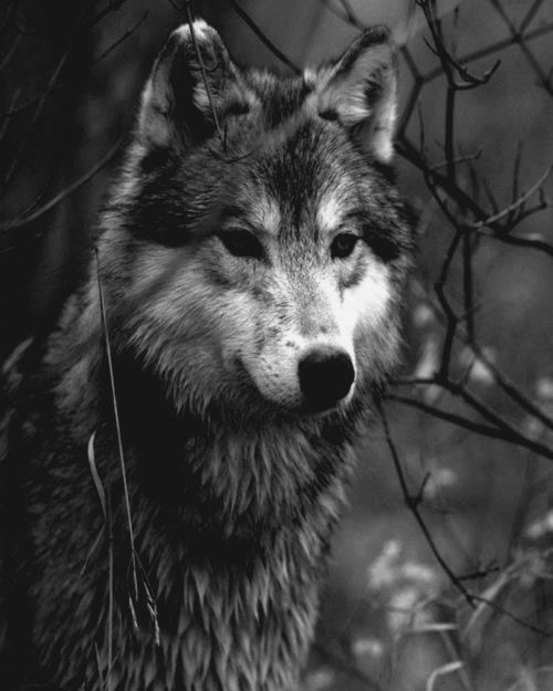 The majestic beauty of canis lupus the gray wolf