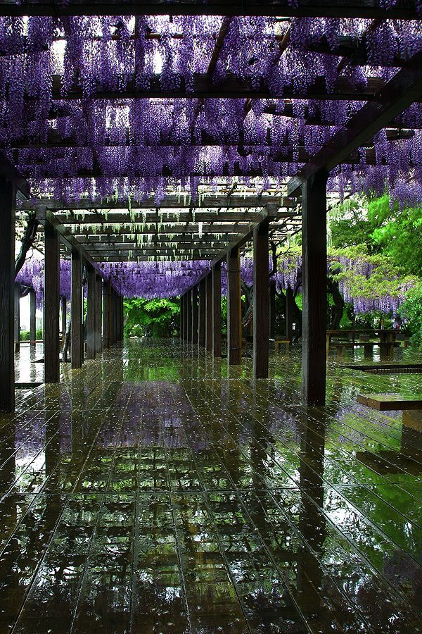 Wisteria pathway at Toba, Kyoto, Japan #travel #japan