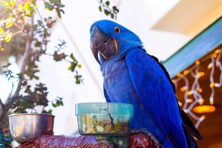 Blue parrot bird