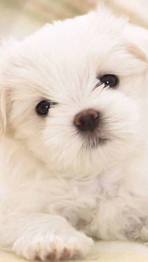 #chiot #mignon #cute                                                                                                                                                      Plus