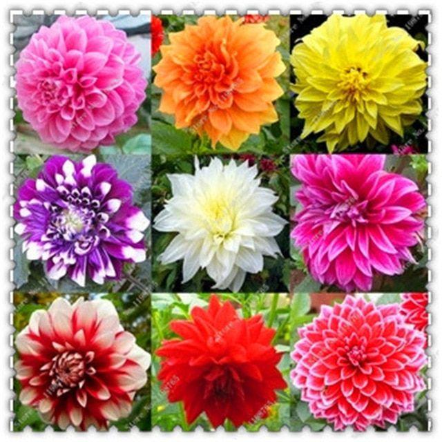 Buy 200 Pcs Dahlia Seeds Mixed Colors Free Shipping Flower Seeds Bonsai Flower Flower Pot Garden