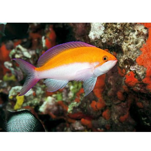 Bicolor Anthias (Anthias bicolor)
