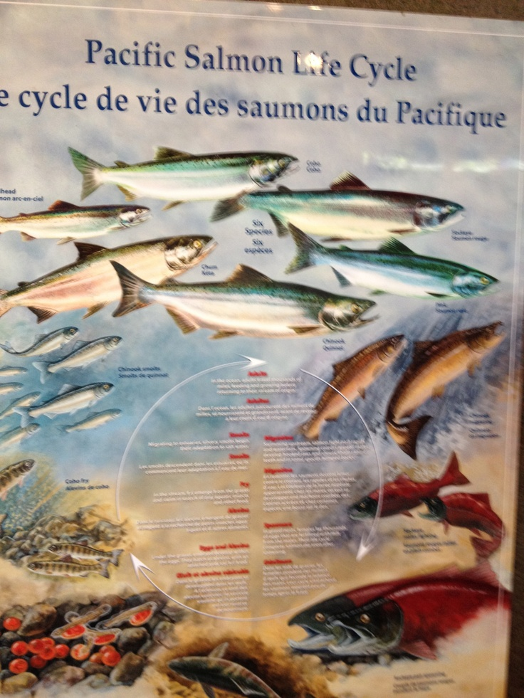 An informative sign about salmon at Capilano Fish Hatchery North Vancouver.