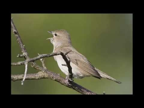garden warbler song - YouTube