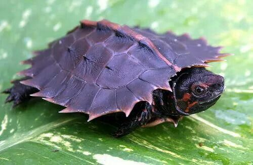 Spiny Turtule - The attractive juveniles have a carapace which is heavily serrated at the margin, but in adults this feature is reduced to small serrations only on the rear margin of the carapace.