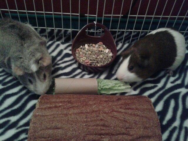Discovering guinea pigs essay