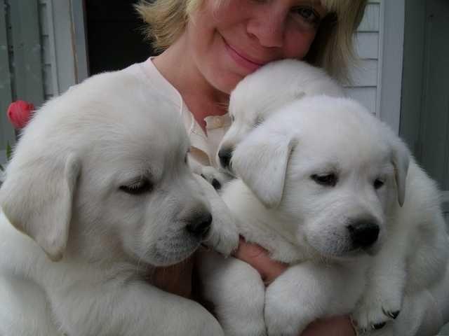 Adorable White Labrador Puppies White Lab Puppies Labrador Retriever Puppies Labrador Puppy