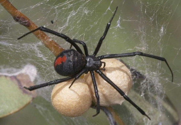 "Australia's famous Red Back Spider, immortalised in Slim Dusty's song ""Red Back on the toilet Seat""."