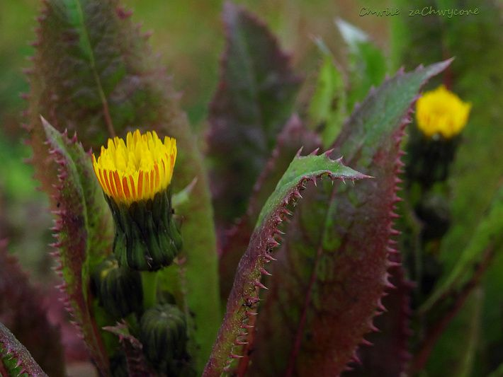 Chwile Zachwycone Mlecz Kolczasty Plants