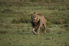 Passage To Africa - Serengeti - Tanzania #Lion #Serengeti