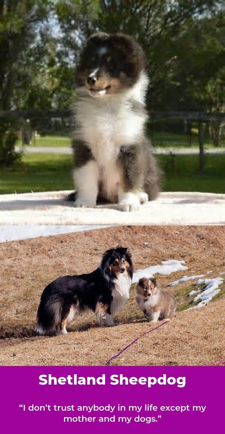 Shetland Sheepdogs Shetlandsheepdogvalp Shetlandsheepdogs Dogs