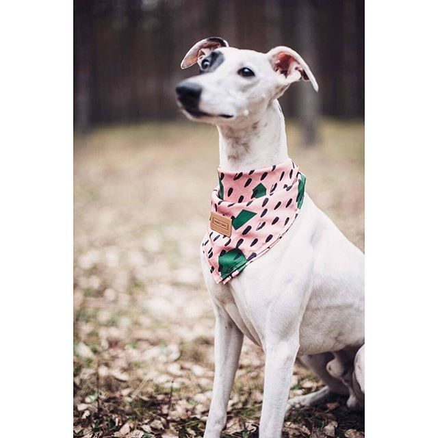 we feel long weekend coming - Pongo in WATERMELON bandana wishes you all great holiday! remeber about looooong walks and big hugs given to your furry tails 😄🌿🐾🌲🗺  discovered&pinned by: @agatumi