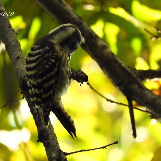 【mikomoco】さんのInstagramをピンしています。 《コゲラちゃんのコツコツ💜落ち着きないったらありゃしない💦 #コゲラ#野鳥#野鳥好き#野鳥倶楽部#秘密の森 #森#マイフィールド#単独行動 #秘密の場所 #カメラ女子#カメラ好き#nikon#nikonphotography #nikonp610 今日は1組の親子にすれ違っただけ💦まさに孤独😅 アオゲラちゃんに会いたかったんだけどなぁ😚》
