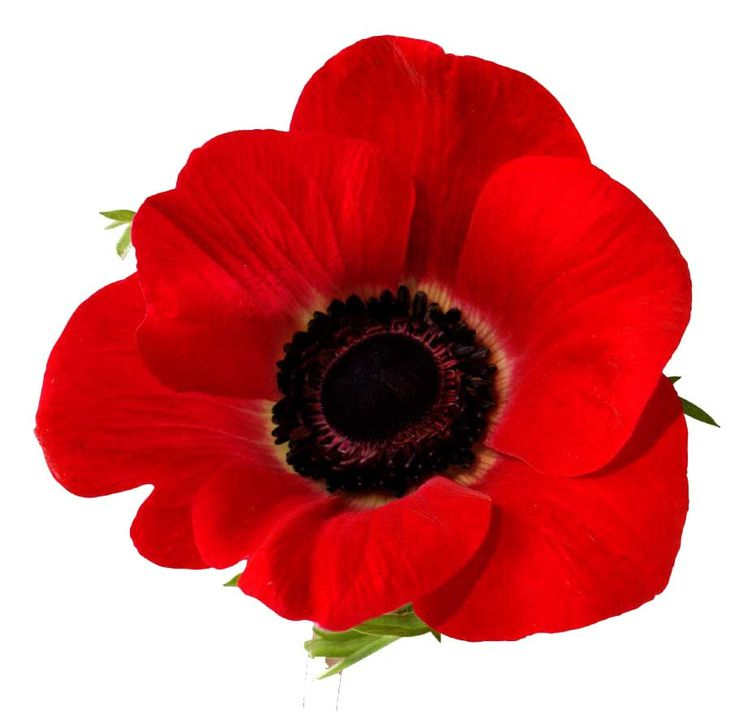 Perfect Red Poppy Flower Photos