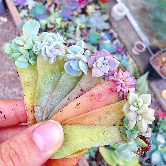 A handful of perfection #leafandclay #succulents (: @concrete_gardens)