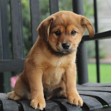 Cava Inu Puppy For Sale In Gap Pa Adn 50725 On Puppyfinder Com Gender Male Age 9 Weeks Old Hybrid Dogs Puppies Puppies For Sale