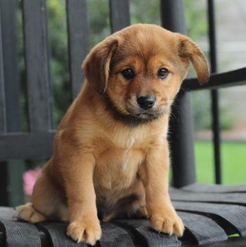 Cava Inu Puppy For Sale In Gap Pa Adn 55614 On Puppyfinder Com