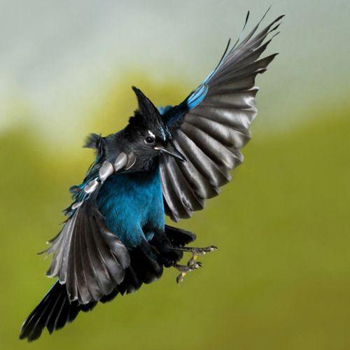 """fairy-wren:  steller's jay (photo via the telegraph)   ""Birds Pictures, Rocky Mountain, Stellers Jay, Amazing Birds, Beautiful Birds, Blue Jay, Stellar Jay, Birds In Flight, British Columbia"