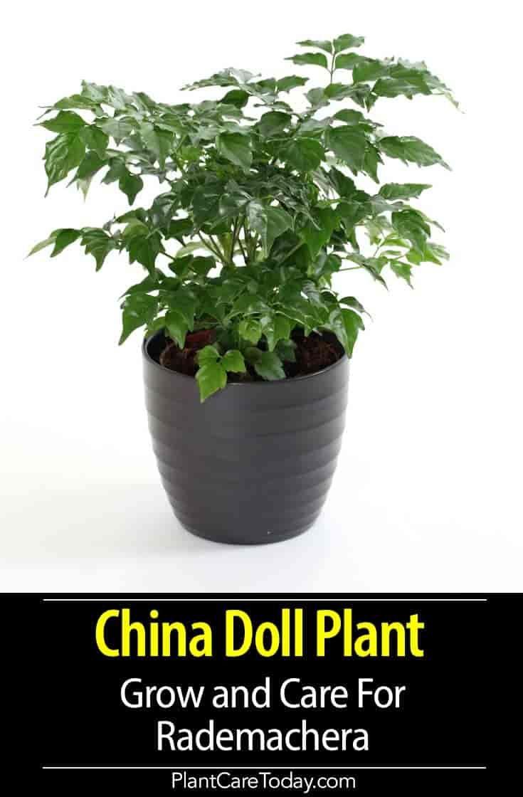 How to grow the china doll plant rademachera china
