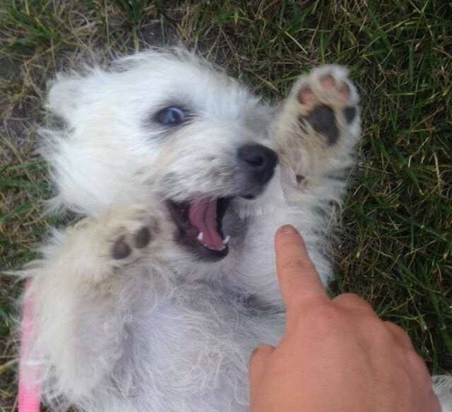 22 Times Westies Failed So Hard But They Were Cute So ツ Westie Dogs Cute Cats And Dogs Westies