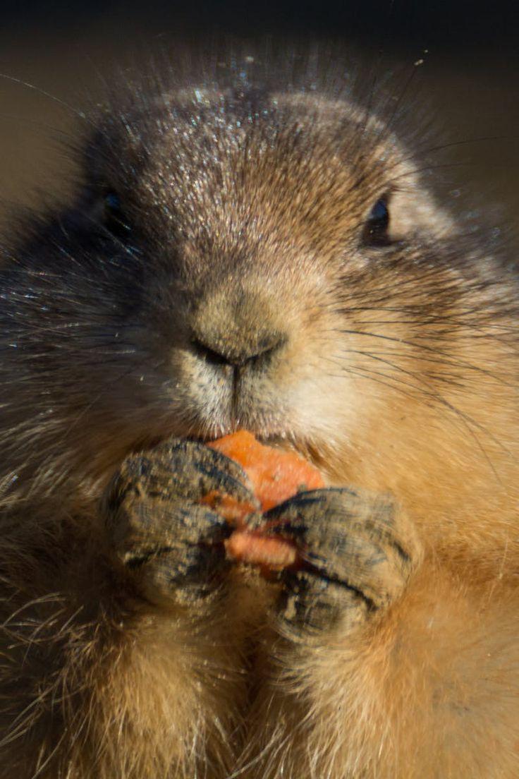 Free stock photo of eating, animal, carrot, prairie dog