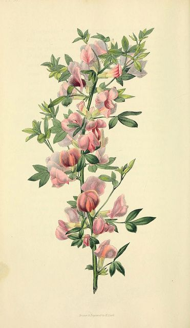 Cytisus purpueus / Purple-flowered cytisus, illustration from Flora Conspicua, published in 1826  |  View book online: http://openlibrary.org/books/OL13520643M/Flora_conspicua