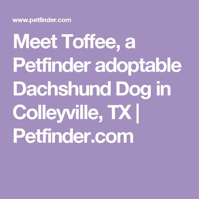 Meet Toffee, a Petfinder adoptable Dachshund Dog in Colleyville, TX | Petfinder.com