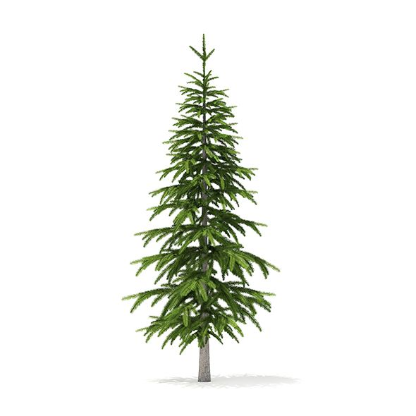 Fir Tree 3d Model 2 6m By Cgaxis Fir Tree 3d Model Height 2 6m Compatible With 3ds Max 2010 V Ray Mental Ray Corona Or Higher Ci Fir Tree Tree 3d Model