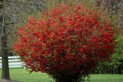 Chaenomeles Texas Scarlet Flowering Quince - Hess Landscape Nursery - Finleyville, Pennsylvania