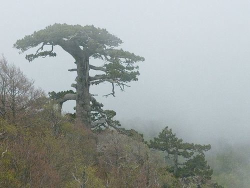 "This 900 year old tree is a ""Pinus leucodermis"" located in the Pollino National Park in Italy."