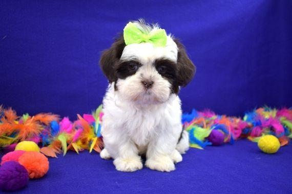 Nicki Shih Tzu Puppy 576106 Puppyspot Shihtzu Shih Tzu Puppy